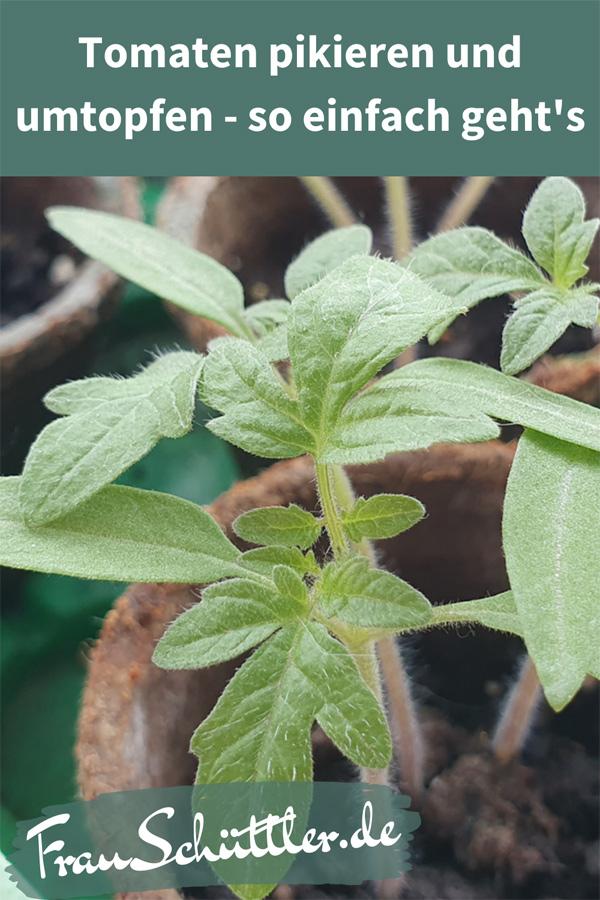 Tomaten pikieren, umtopfen und auspflanzen - so einfach geht's.