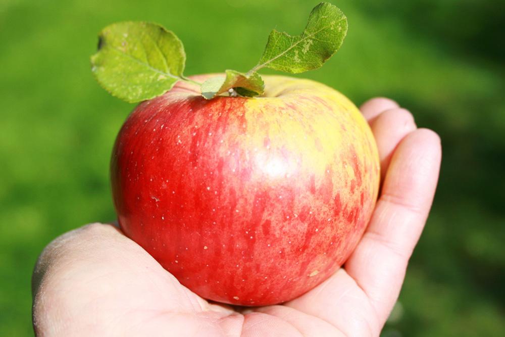 Versunkener Apfelkuchen aus Äpfeln von unserem Topaz-Baum.