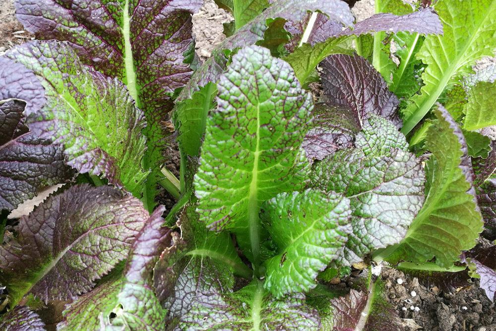 Asia-Salate ernten