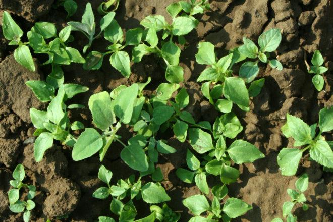 Säen und pflanzen: Was ist denn das: Gemüsepflänzchen oder Unkraut?
