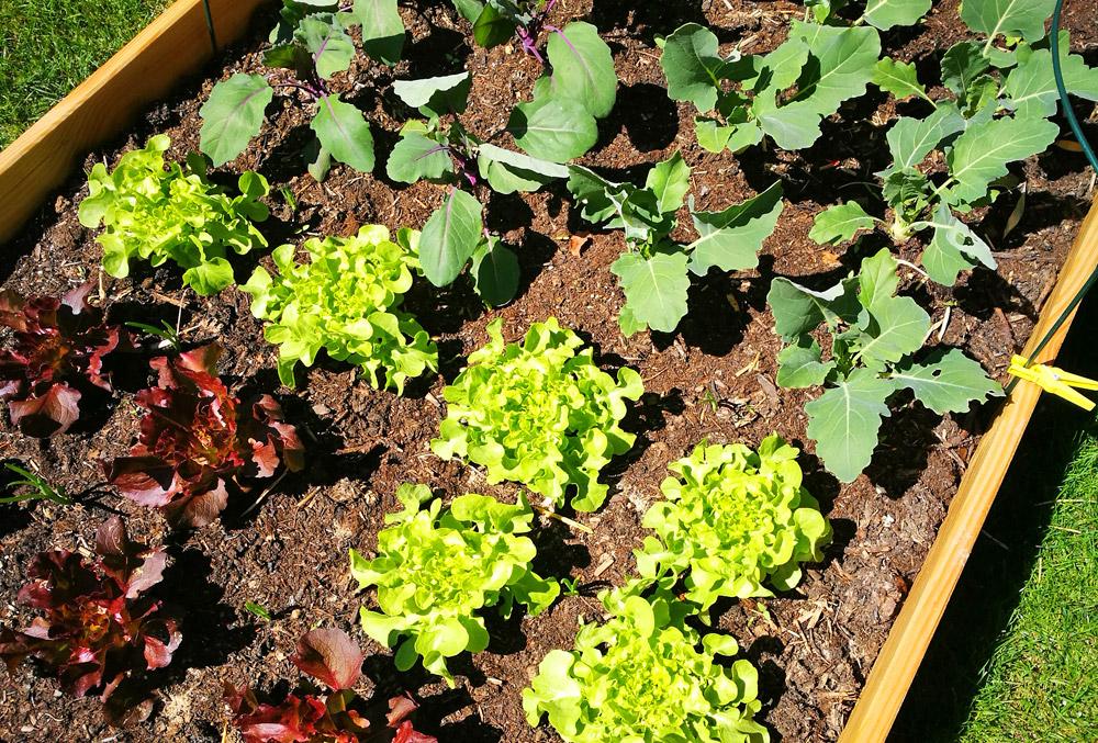 DYI-Projekt: Ein niedriges Hochbeet bietet Platz für Salat und Gemüse.