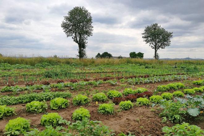 Die Salatköpfe und Kartoffeln im Saisongarten wachsen.