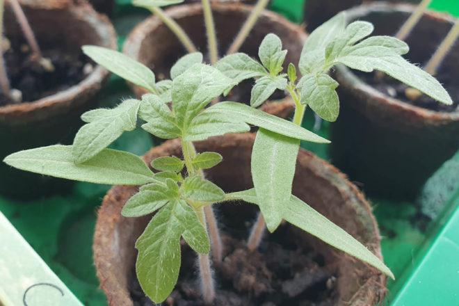 Tomaten pikieren: Bilden sich die ersten richtigen Blätter, ist es Zeit die Tomaten zu vereinzeln.