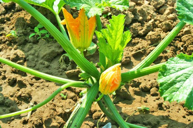 Zucchinipflanzen sind wahre Wassersäufer und mögen das häufige Gießen.