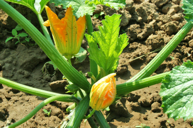 Damit Zucchini im Topf gut gedeihen, braucht es nicht viel. Genügend Sonne und Wasser, außerdem einen großen Topf und nähstoffreiche Erde.