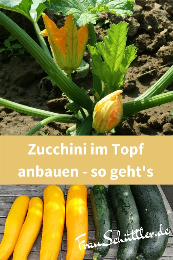 Zucchini im Topf anbauen